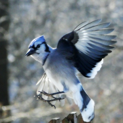 Blue Jay in Flight 2