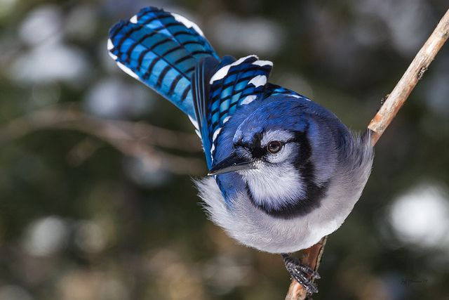 The Lesson of the Blue Jay