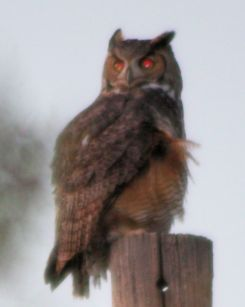 Great Horned Owl - 6 - 25th Nov + Crop