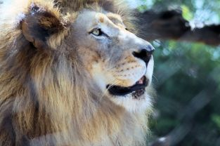 Zoo - African Lion 4