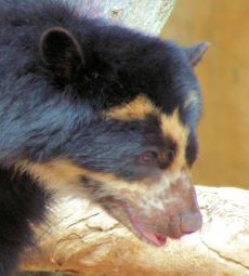 Zoo - Andean Bear 2 +C1SPF