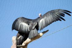 Zoo - California Condor 3