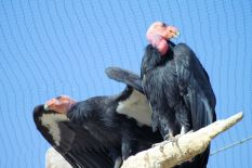 Zoo - California Condor 4