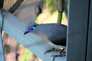 Zoo - Crested Coua