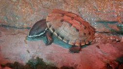 Zoo - Fly River Turtle