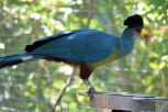 Zoo - Great Blue Turaco 2