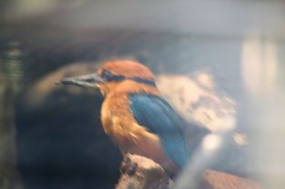 Zoo - Guam Kingfisher - Extinct in Wild