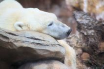 Zoo - Polar Bear 2