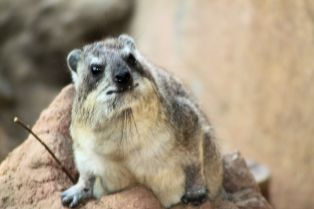 Zoo - Rock Hyrax