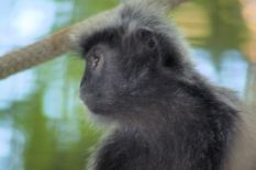 Zoo - Silvered Leaf Langur