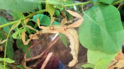Zoo - Spiney Stick Insect