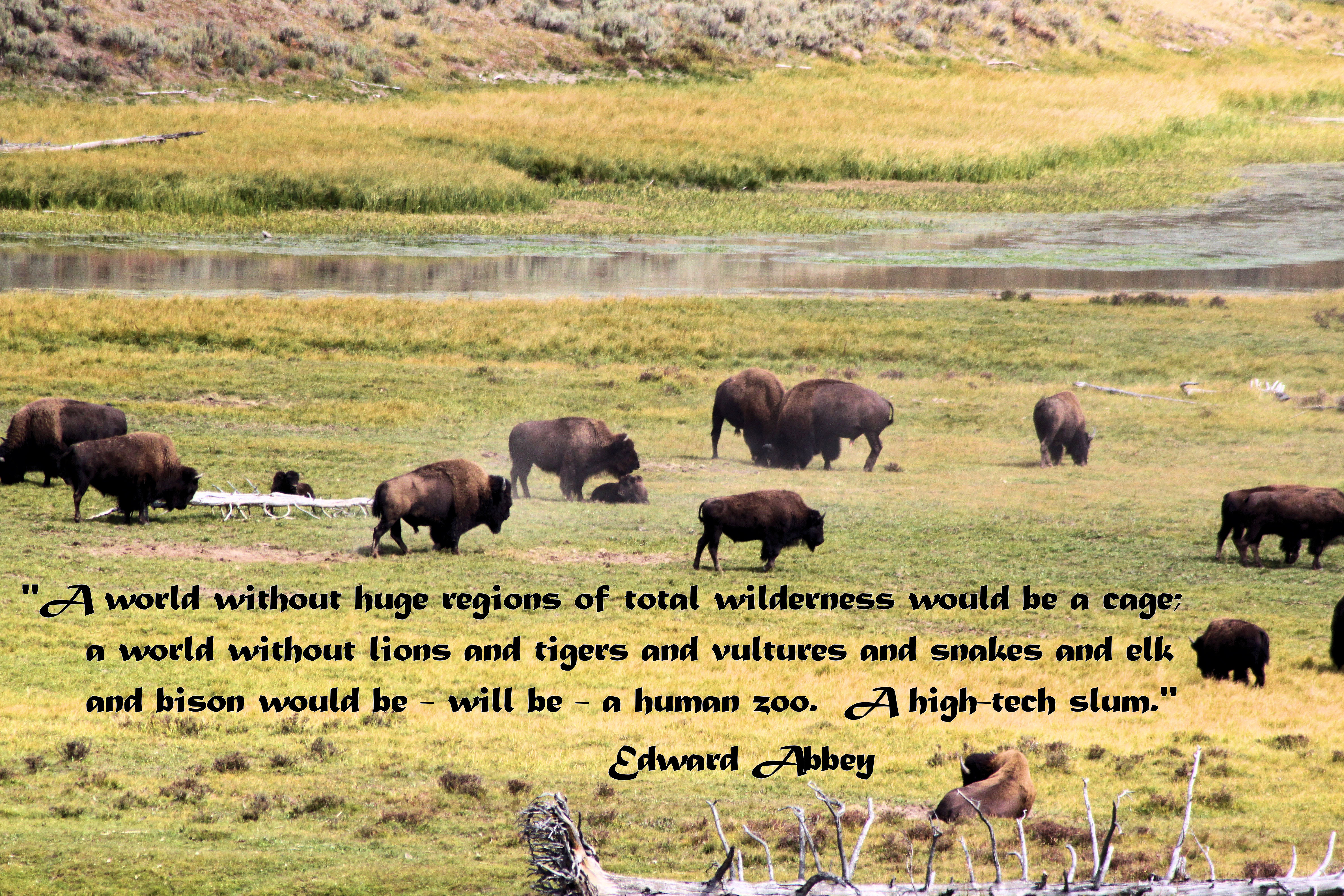 Bison Heard with Edward Abbey Quote