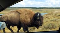 Bison - Out the Car Window