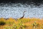 Blue Heron on Sylvan Lake