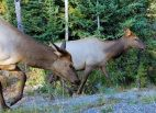 Elk 9 - Momma and Calf - Day 2 + C1