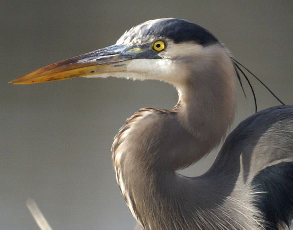 Great Blue Heron from the Net