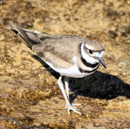 Killdeer+C1