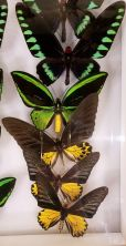 SD MONH - Birdwing Butterflies