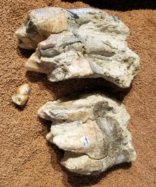 SD MONH - Mastodon Molar Fragments