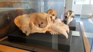 SD MONH - Northern Elephant Seal Skull