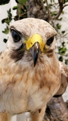 SD MONH - Red-Tailed Hawk