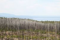 Yellowstone Lake - Pines after Forest Fire 2