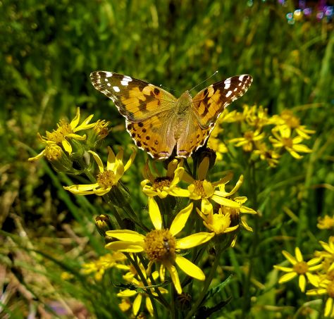 Narrowleaf Goldenweed with Butterfly =C1
